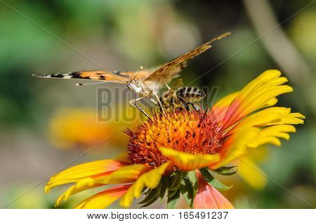 A bee collects nectar on bright flower under the wing of butterfly