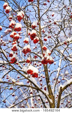 the clusters of red berries of mountain ash under snow