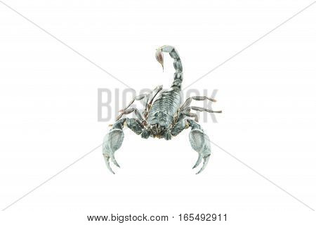 Scorpion Pandinus