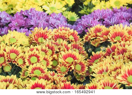Colorful yellow daises flowers in the park, Selective focus