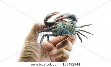 Catching Red Field Crab