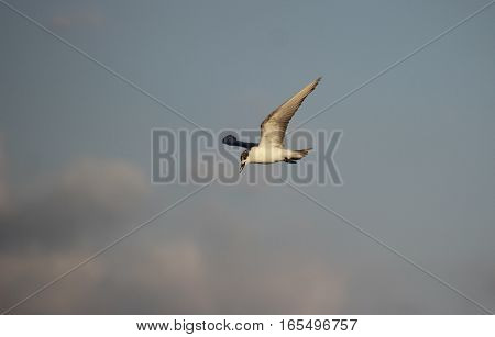 Sleek white and grey seagull flying graciously