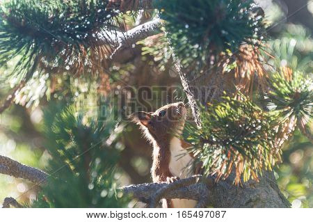 A squirrel in Vall de Nuria searching some to eat