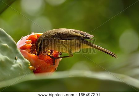 Small phylloscopus bird, eating delicious ripe prickly pear