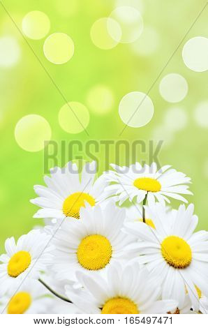 Beautiful white daisy flowers on green background.