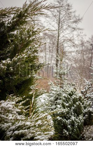 snow-covered track between conifers tui, beautiful winter landscape