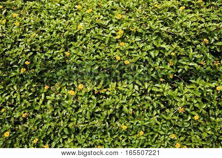 Small yellow lawn flowers background. Butter daisy herb in the sunlight. Green foliage hedge backdrop