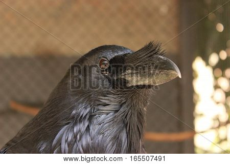 Portrait of 'pet' Raven (Corvus corax) in a cage