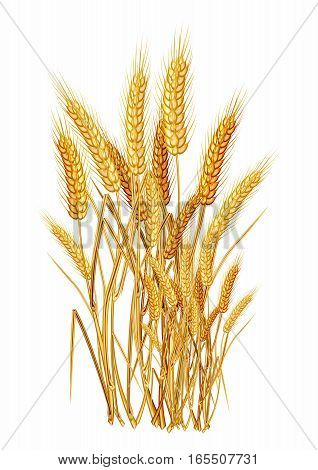 Vector Golden Paddy Grass Closeup Illustration, matured and ready for harvesting