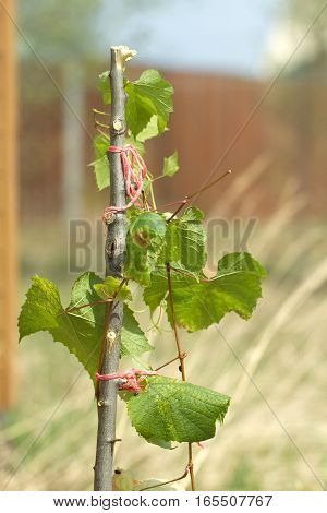 Small grape branch with green leaves grows in a garden closeup