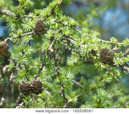 Green larch tree branches with small brown cones closeup
