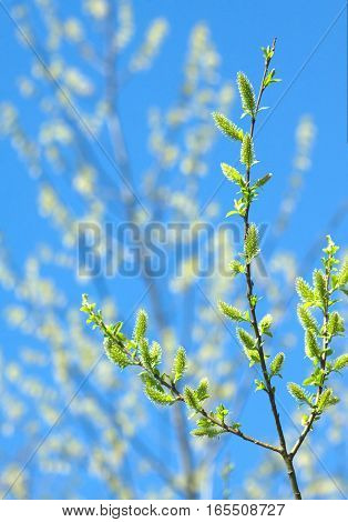 Branches with blossom buds in spring closeup over blur background