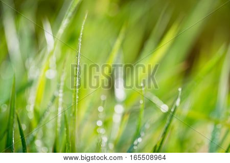 grass with drops of water shallow depth of field