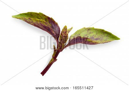 Basil violet and green herb leaf closeup isolated on white background. Studio image of spicy vegetable and herb, healthy natural organic food, cooking ingredient