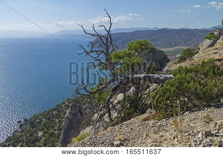 Dead pine relict lying on the hillside above the sea. Crimea September.