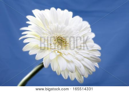 Transvaal daisy flower.Close up in a sunny day