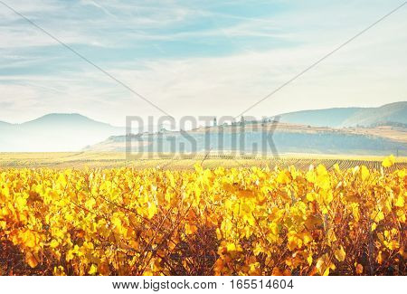 Landscape with autumn vineyards of Route des Vin, France, Alsace, toned