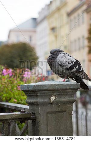 pigeon on a handrail Tepla river. Karlovy Vary (Carlsbad) . Czech Republic