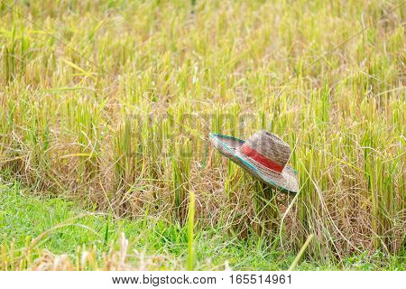 Farmer hat with yellow rice field background