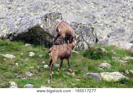 Tatra chamois in the natural environment. Tatry