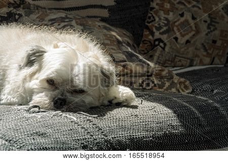 White dog resting on sofa. He seems to be thoughtful.