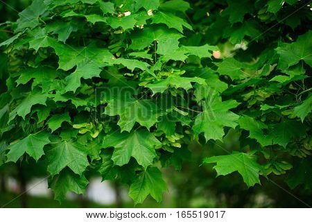 Maple Green Leaves Close Up