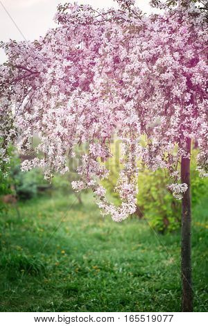 Springtime, Young Cherry Blossoming. Spring Flowers.