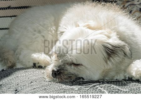 White dog sleeping on sofa. He seems to be lazy.