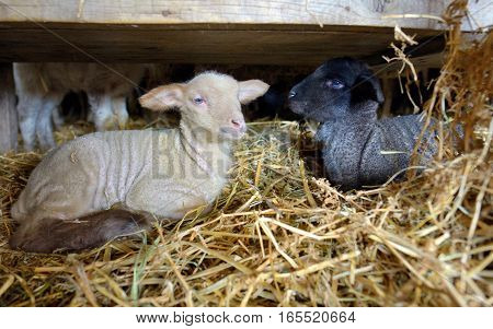 newborn lambs in a stable, close up