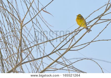 Yellow Warbler (female) in winter time, close up