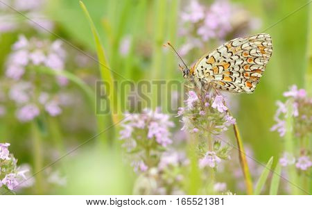 Monarch butterfly feeding on flower, close up
