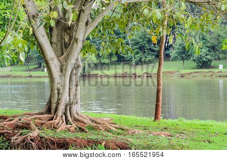 Tree with roots out of the earth in front of Lake Igapo in Londrina PR Brazil.