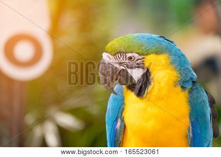 Close up of Blue-and-yellow macaw bird (Ara ararauna)