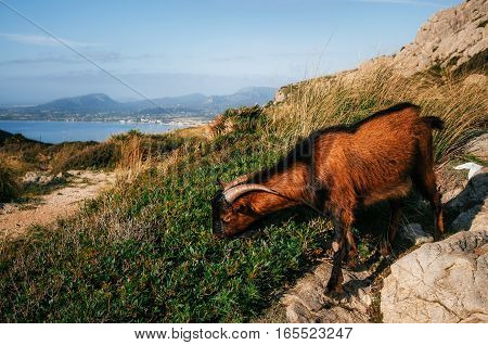 Mountain goat nibbles a juicy green grass close up on Cap Formentor in Mallorca Balearic island Spain