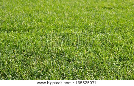 Green grass carpet as background in summer close up horizontal view