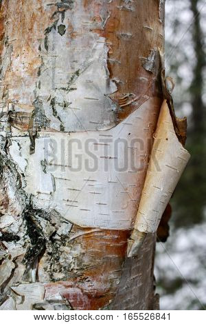 Close-up birch trunk with bark and birch sap drops on it in spring.