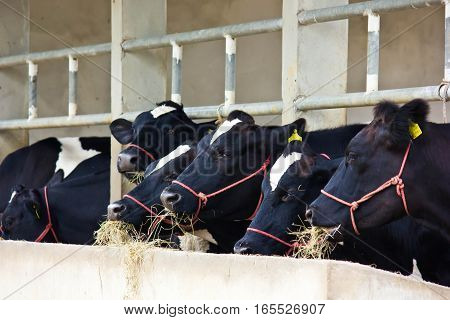The dairy industry - dairy farm ,cow