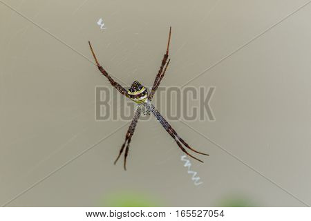 Spiders(Argiope versicolor)-Spiders on webs on gray background.