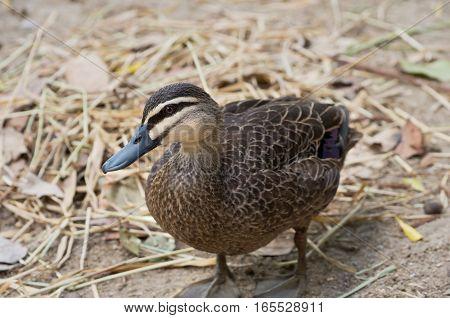 pacific black duck or anas superciliosa bird full body profile