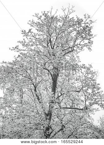 Still life of a white winter tree on a cold day