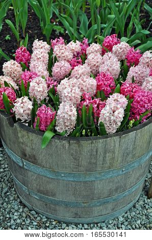 Beautiful pink spring hyacinth flowers in wooden barrel planter