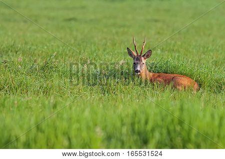 Buck deer hidden in the grass in the wild