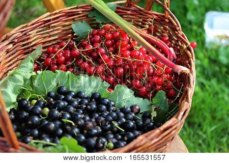 Black and red currant in the basket divided by leaf. Black currant and red currant harvested in garden. Home grown currants in basket.