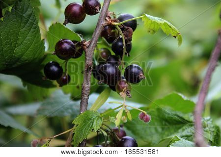 Black currant growing on branch in the garden. Black currant bush with leaves and berries. Gardening currant.