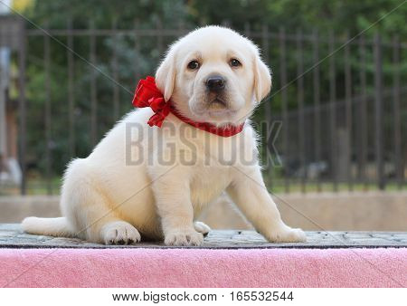 Little Labrador Puppy On A Pink Background