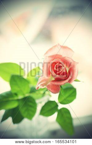 Closeup of beautiful pink rose, vintage effect