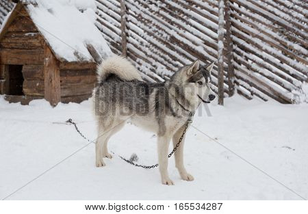 Husky dog standing in the snow near the doghouse