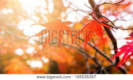 Red Maple Leaf Against Sunlight