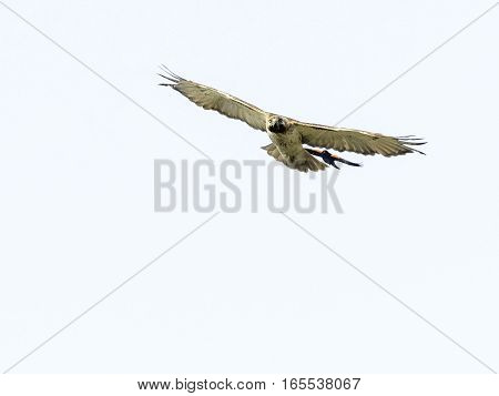 Red-tailed Hawk perplexed by attacking Red-winged Balackbird