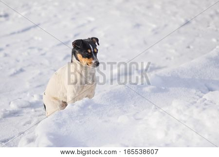 Three colored Jack Russell Terrier sitting on a fresh snow hesitating to jump in snowdrift